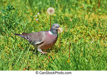 Common Wood Pigeon - Big Common Wood Pigeon in the Grass