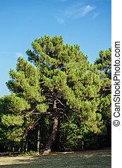 Big Coniferous Tree under the Blue Sky
