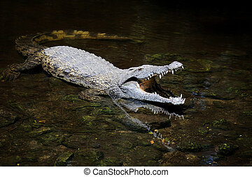 Big crocodile in water. National park of Kenya, Africa