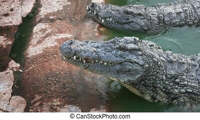 big crocodile opens its mouth - The crocodile is opening its...