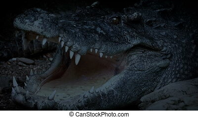 Big Crocodile Opens Mouth In The Evening - Large crocodile...