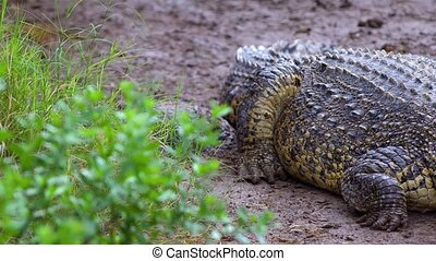 crocodile resting at national park - big crocodile resting...