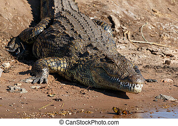 Big crocodile resting riverfront Chobe Botswana Africa - Big...