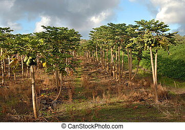 Big Crop in Hawaii