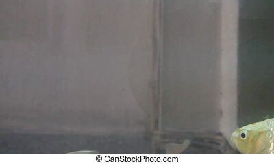 Big crucian carp swims in a glass a