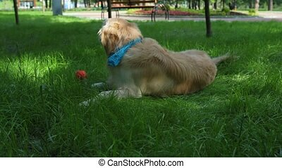 Big cute dog resting in the grass - Enjoy the nature. Big...