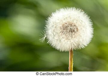big dandelion on green grass background