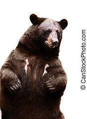 big dangerous black bear close up