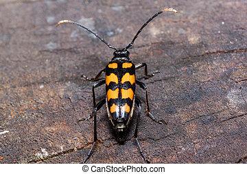 Big death watch beetle is sitting on a tree stump. Nicrophorus vespillo. Burying beetles or sexton beetles.