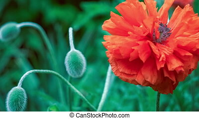 Big decorative red poppy flower in spring day, close up, -...