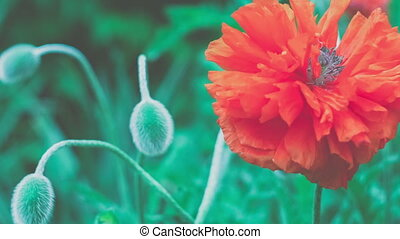 Big decorative red poppy flower in spring day, close up -...