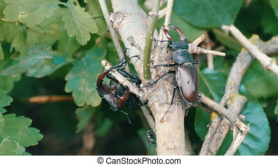 Big deer beetles Lucanus cervus creep along tree. Rare...