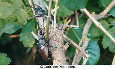 Big deer beetles Lucanus cervus creep along tree. Rare ...