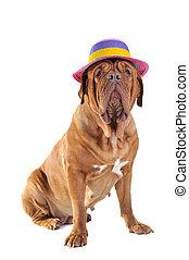 Big Dog in Hat