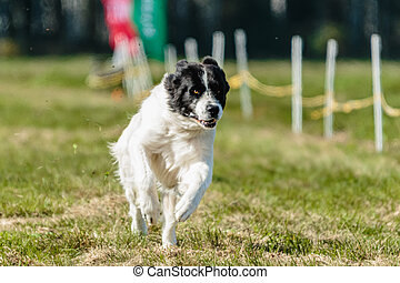 Big dog running in the green field on lure coursing competition