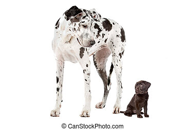 Big Dog Small Dog - A Great Dane harlequin and a chocolate...