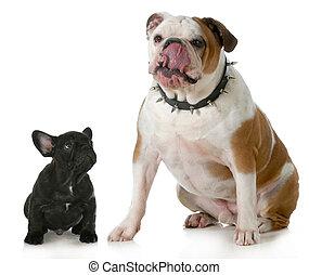 big dog small dog - big and small dog - small french bulldog...
