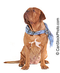 Big dog with scarf