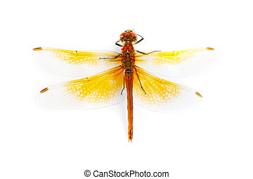 Big dragonfly isolated on a white background