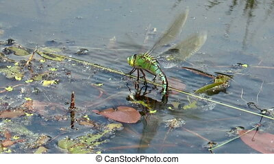 big dragonfly laying eggs side view closeup