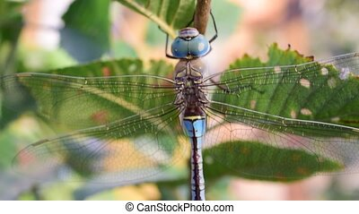 Big dragonfly on green tree foliage