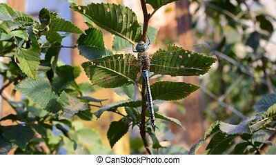 Big dragonfly sits on tree branch with green foliage