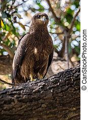 Big eagle India - Big eagle sitting on the tree branch, ...
