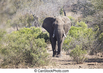 Big elephant approaching a road with tusks