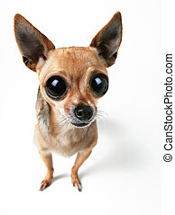 A very tiny chihuahua with enormous eyes