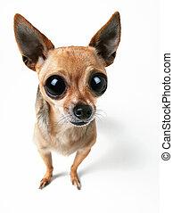 big-eyed, chihuahua