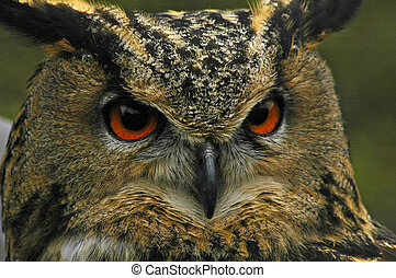 An eagle owl close up, showing the bright red eyes, taken march 2005