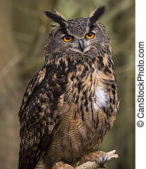 Big eyes - Indonesian Eagle Owl on perch in tree