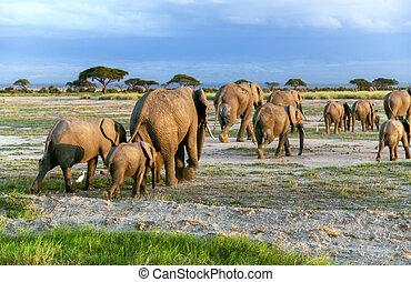 Big family of African bush elephant