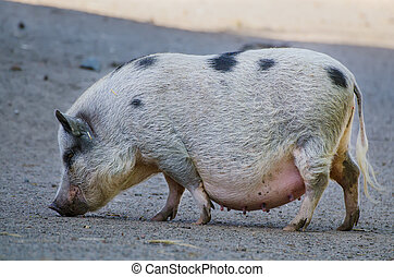 Big female farm pig with black spots grazing at the farm