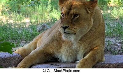 Big Female Animal Lies Among Bushes on a Sunny Day