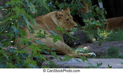 Big Female Lion Lies Near a Stone Wall Covered With Greenary in Summer in Slo-Mo