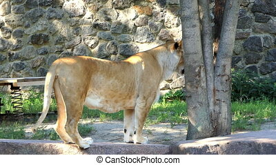 Big Female Lion Moves Along a Stone Wall in Summer