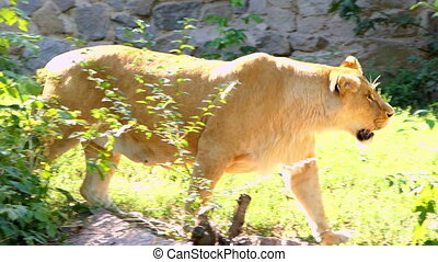 Big Female Lion Walks Along a Stone Wall Through Greenary in Summer