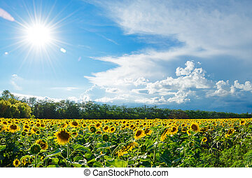 Big Field of Gold Sunflowers under the Bright Sun and Blue Sky