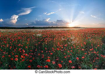 Big field of poppies