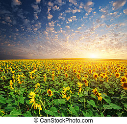 Big field of sunflowers