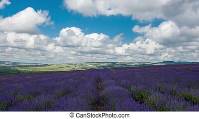 Big field of the blossoming lavender in summer day,...