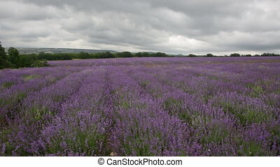 Big field of the blossoming lavender in cloudy day
