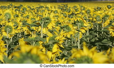 Big field of the blossoming sunflowers, panning