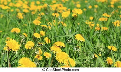 Big field with the blossoming bright yellow dandelions