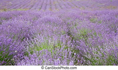 Big field with the blossoming lavender in summer day