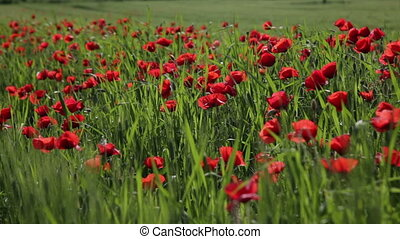 Big field with the blossoming red poppies