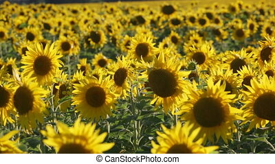 Big field with the blossoming sunflowers lit with the sun