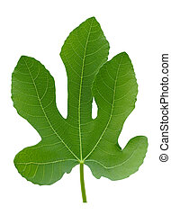 Big fig tree green plant leaf macro isolated