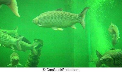 Big Fish at Aquarium in Ayutthaya, Thailand